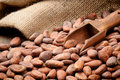 Cocoa beans and wooden scoop Stock Image