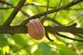 Cocoa or cacao pod on tree Royalty Free Stock Photos