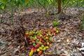 Cocoa farm, harvest time, Fresh cocoa, cocoa fruits Royalty Free Stock Photo