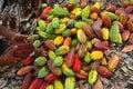 Cocoa farm, Fresh cocoa, cocoa fruits Royalty Free Stock Photo