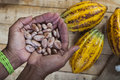 Cocoa farmer Royalty Free Stock Photo