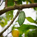 Cocoa pod on the tree chocolate green with bali island indonesia Royalty Free Stock Image