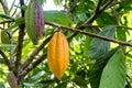 Cocoa pods on a cacao tree in mindo ecuador Stock Photo