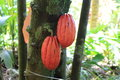 Cocoa pods ripe on a tree theobroma cacao tropical america Royalty Free Stock Photography