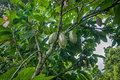Cocoa pods on a tree Royalty Free Stock Photo