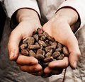 Cocoa seeds hands holding fresh Royalty Free Stock Images