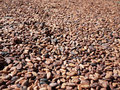 Cocoa seeds lots of raw beans drying in the sun Stock Images
