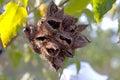 Cocoa shells on tree Royalty Free Stock Photo