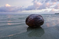 Coconut on aitutaki lagoon cook islands one during early morning Royalty Free Stock Images