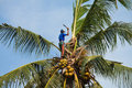Coconut climber Royalty Free Stock Photo