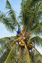 Coconut climber Royalty Free Stock Photos