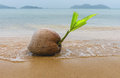 Coconut on the edge of the sea Royalty Free Stock Photography