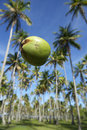 Coconut falling palm trees grove blue sky from a of tall green in tropical brazilian on the coast in nordeste brasil Royalty Free Stock Photo