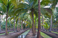 Coconut garden Royalty Free Stock Photos