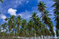 Coconut garden in Thailand Stock Photos