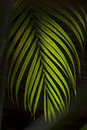 Coconut leaf with dark background and back lit Stock Images