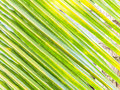 Coconut leaf texture background stock photo Stock Images