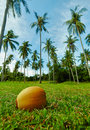 Coconut lying on grass under palm Stock Images