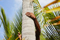 Coconut man is climbing up to palm tree for harvest Stock Photography