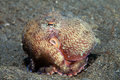 Coconut octopus marginatus on the sea floor Stock Photos