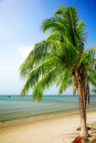 Coconut palm Royalty Free Stock Images