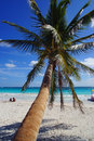 Coconut palm at beach sand and tree in tulum mexico Royalty Free Stock Photos