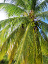 Coconut palm close up of a Royalty Free Stock Images