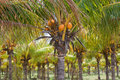 Coconut Palm Farm Royalty Free Stock Images