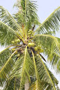 Coconut palm is a kind of tree of the family arecaceae it growing to m Royalty Free Stock Photos