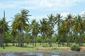 Coconut palm with lagoon plantation Royalty Free Stock Photography