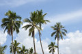 Coconut palm tree agaist blue sky Stock Image