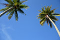 Coconut palm tree agaist blue sky Royalty Free Stock Images