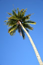 Coconut palm tree agaist blue sky Royalty Free Stock Photos