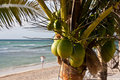 Coconut Palm Tree on Beach Royalty Free Stock Image