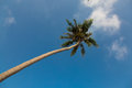 Coconut palm tree on clear blue sky background low angle view Royalty Free Stock Photography