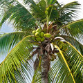 Coconut palm tree with coconuts Royalty Free Stock Photo