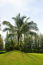 Coconut palm tree at edge of golf green in thailand Royalty Free Stock Photography