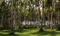 Coconut palm tree forest next to the beach in sumatra indonesia Royalty Free Stock Photo