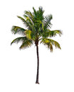 Coconut palm tree, isolated on white background Royalty Free Stock Photo