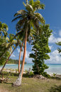 Coconut palm tree over tropical white sand beach in polynesia Royalty Free Stock Photos