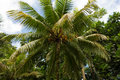 Coconut palm tree in the rain forest in the Portland Parish, Jamaica Royalty Free Stock Photo