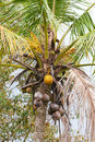 Coconut palm tree ripening cocoes on a Stock Photography