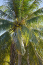 Coconut palm tree at the seaside Stock Photo