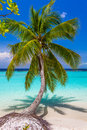 Coconut palm tree at tropical beach in Maldives Royalty Free Stock Photo