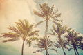 Coconut palm tree Royalty Free Stock Photo