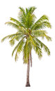 Coconut palm tree on white background Stock Images