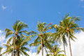 Coconut palm trees against blue sky Stock Photo