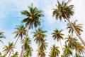 Coconut palm trees against the blue sky Stock Image