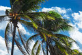 Coconut palm trees against the sky Royalty Free Stock Photos