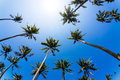 Coconut palm trees and blue sky Royalty Free Stock Image